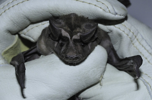 Florida bonneted bat | by FWC Research