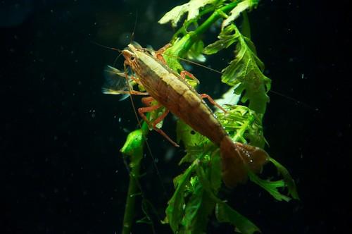 Bamboo Shrimp | by christina cahalane