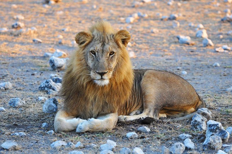 Löwe im Etosha Park in Namibia