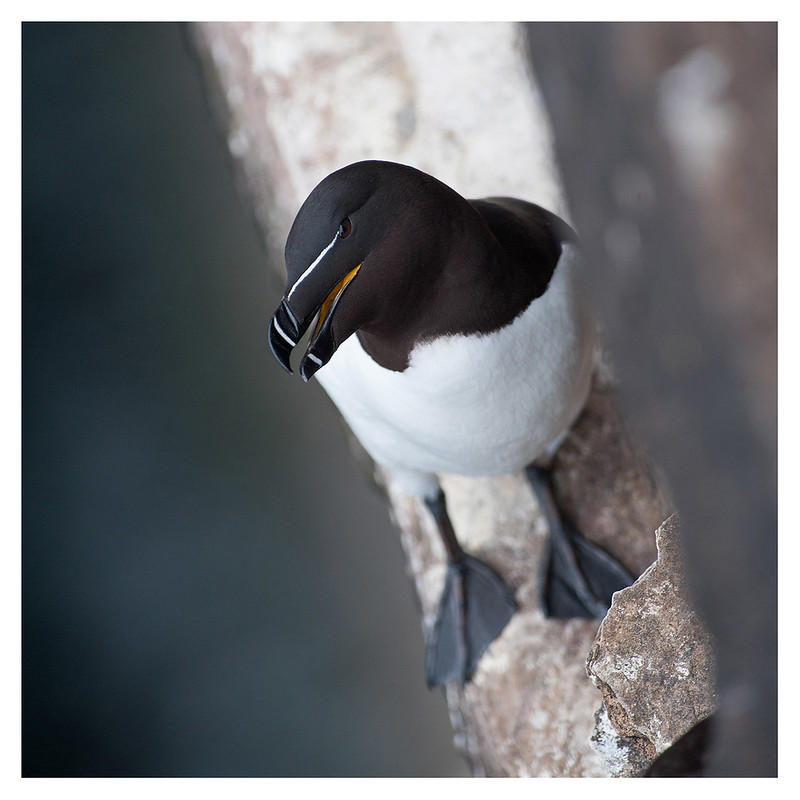 Pingouin torda / Razorbill