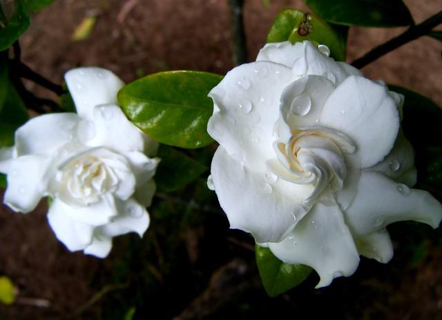♪ ♫ Dos gardenias para tí .......♫