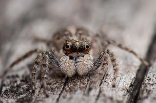 Jumping Spider / Springspinne (Salticidae)
