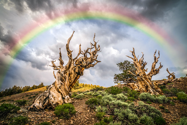 Golden Ratio Ancient Bristlecone Pines Rainbow! Sony A7RII Elliot McGucken Fine Art Landscape Photography!