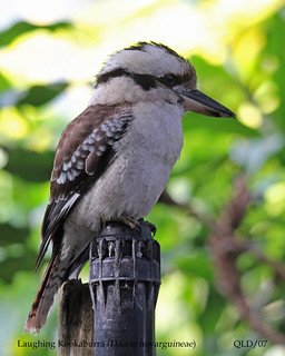 Laughing Kookaburra | by AndrewWood15101