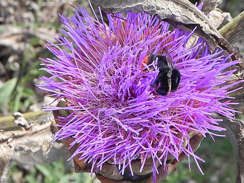 Fleur d'artichaut | chouette rieuse | Flickr
