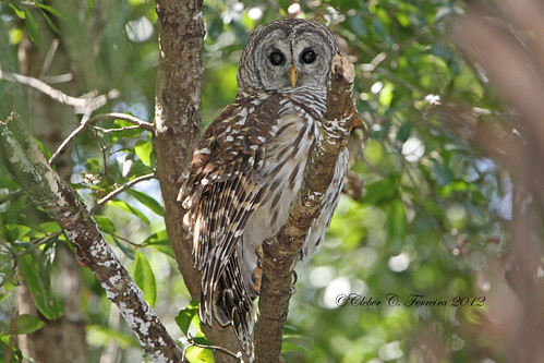 Barred Owl - strix varia | by Cleber C. Ferreira