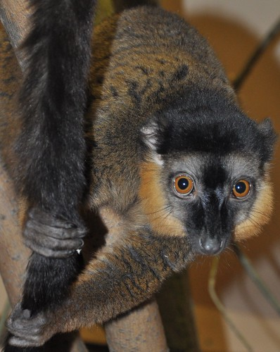 Collared brown lemur | by Oregon State University