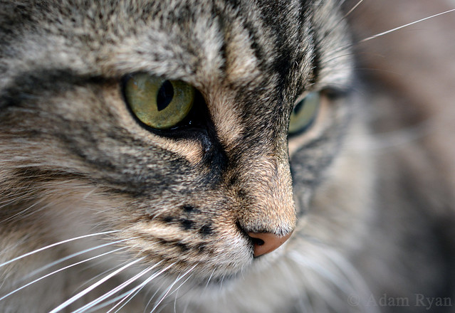 Eagle Eyed Cat (Flickr Explored)