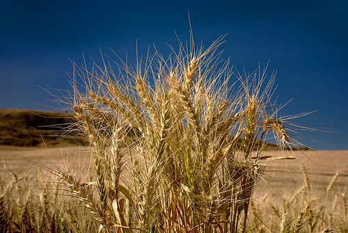 Natural Wheat growing in a field | by The Knowles Gallery