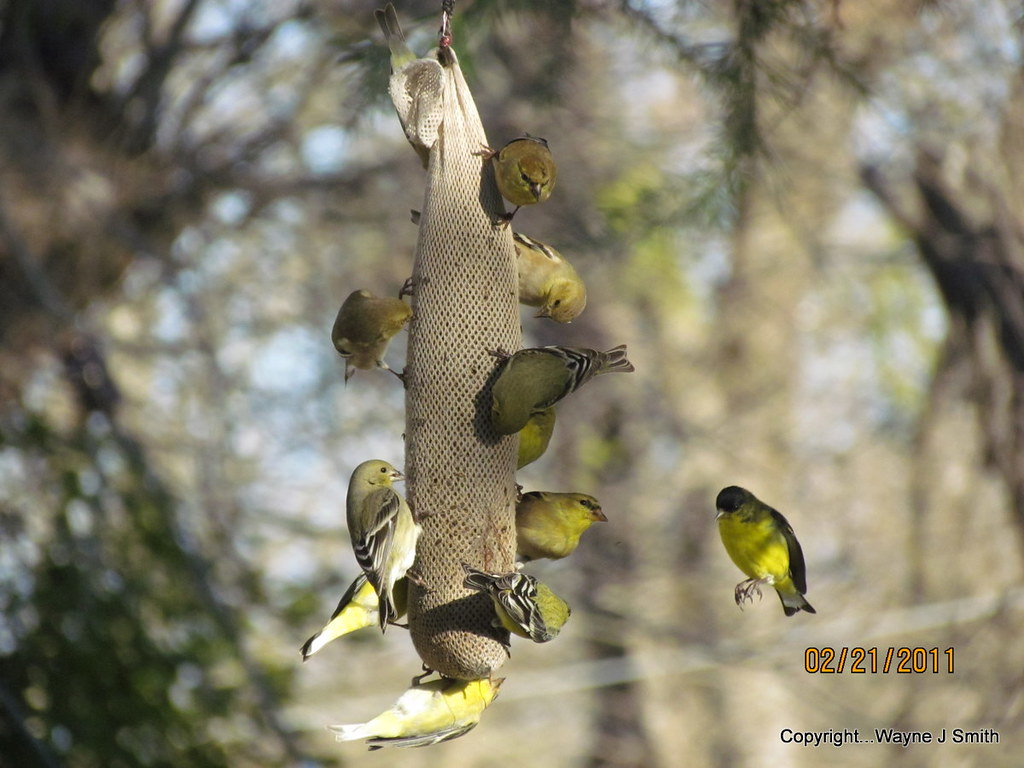 Perchless Lesser Goldfinch