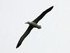 Royal Albatross (Diomedea epomophora) by Francisco Piedrahita