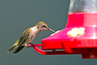 Ruby-throated Hummingbird Male | by Brian E Kushner