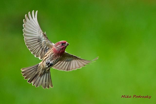 Housefinch in flight.....