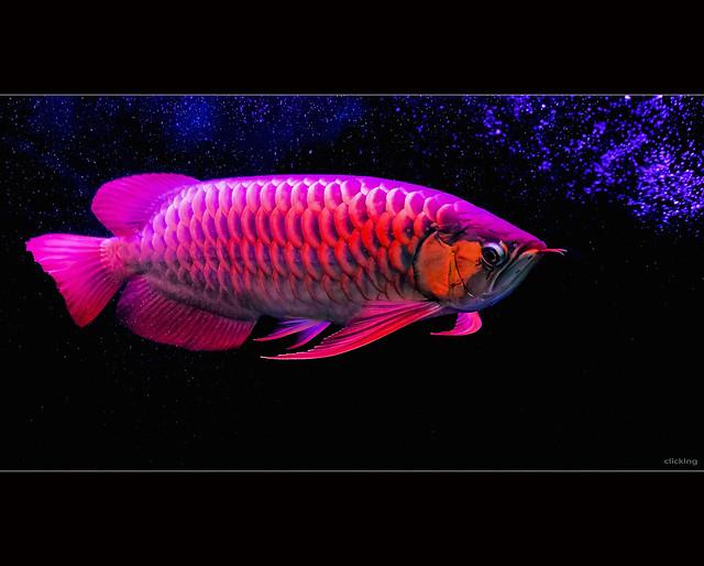 Super Red Asian Arowana Fish
