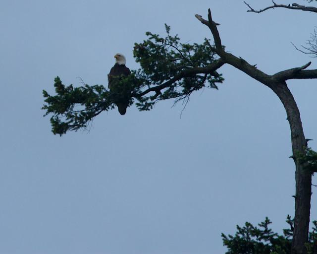 Bald_Eagle_7929_Cypress_Island_San Juans_2012