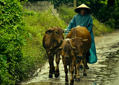 Aug/2012 - A local cattle owner walks his cattle on a rainy day in Hung Yen province, Vietnam (photo credit: ILRI/Nguyen Ngoc Huyen).