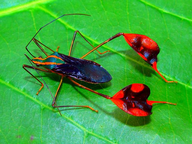 Leaf-footed bug Diactor bilineatus (Hemiptera: Coreidae)