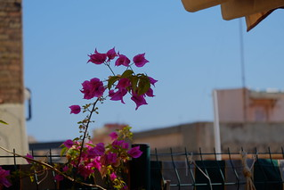 Pink plant | by Horinf