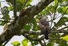 Wallace's Hawk-Eagle by ewiggestrig