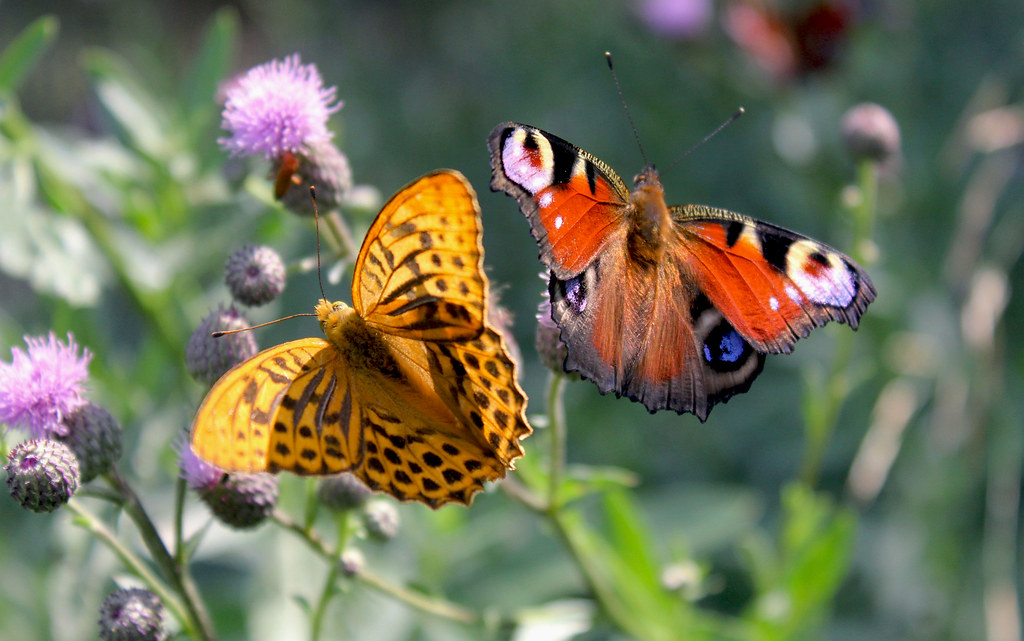 Moscow, The beautiful Butterflies on the Flowers of Thistle in the city Park near