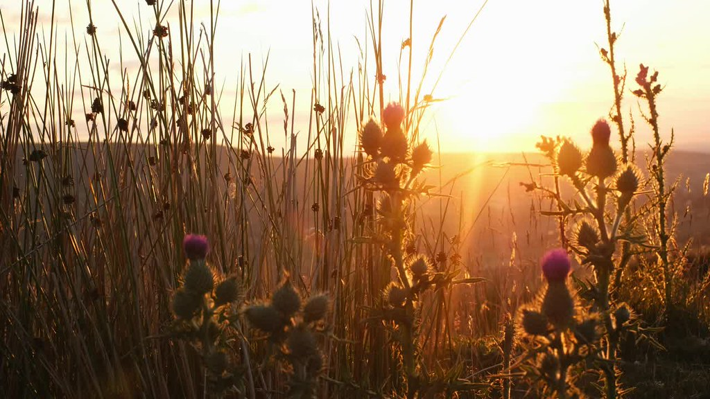 Sunset through reeds and thistle...