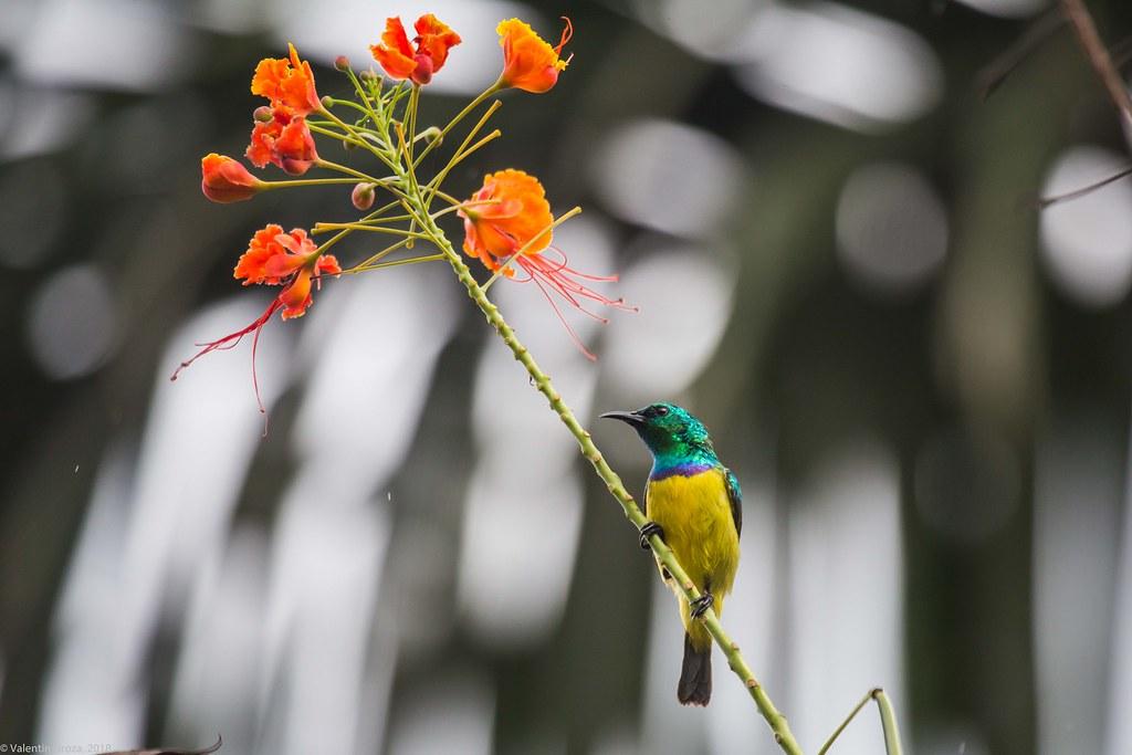 collared sunbird_01_Tanzania 04_08_iul18