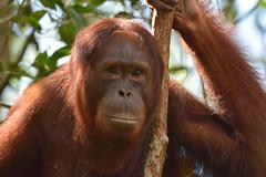 Orangutan (Pongo pygmaeus), Tanjung Puting NP, Central Kalimanan (Borneo), Indonesia