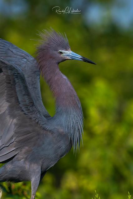 Little Blue Heron - Egretta caerulea | 2018 - 5