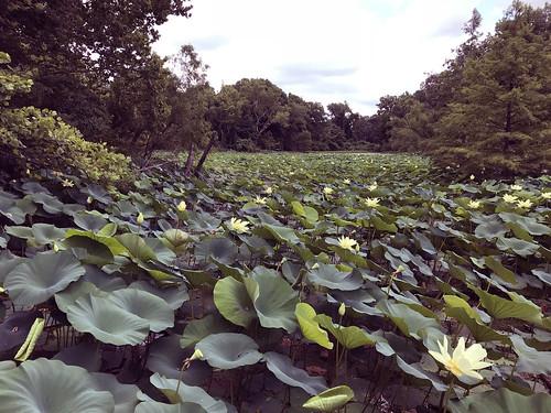 lilies waterlilies nature lichtermannaturecenter memphis tennessee water pond forest foresttrail hiking hikingthroughtheforest