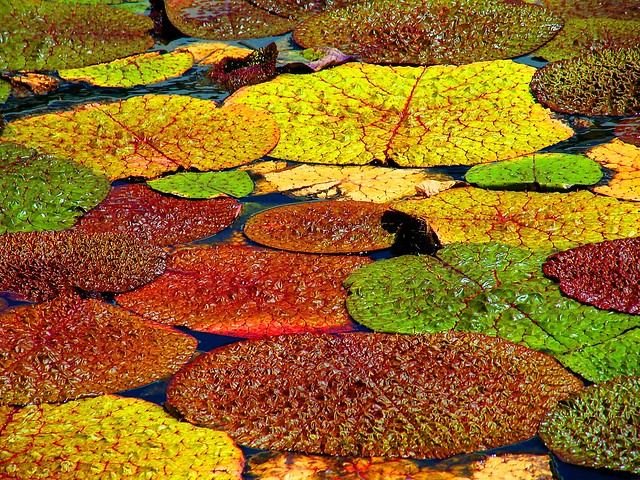 Autumn Waterlily Pads