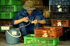 Aug/2012 - Vaccinating chicks in Thuy Phuong province, Vietnam (photo credit: ILRI/Nguyen Ngoc Huyen).