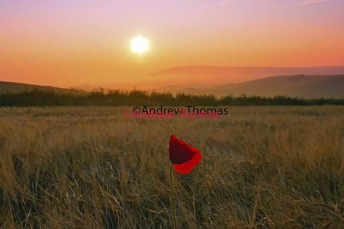 field sunrise poppy andrewthomas