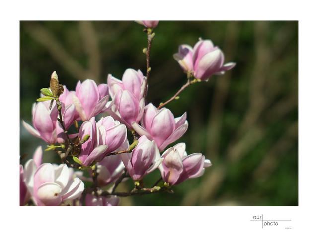 Magnolia rising