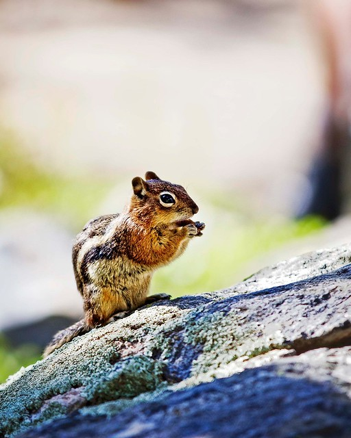 Colorado Chipmunk...