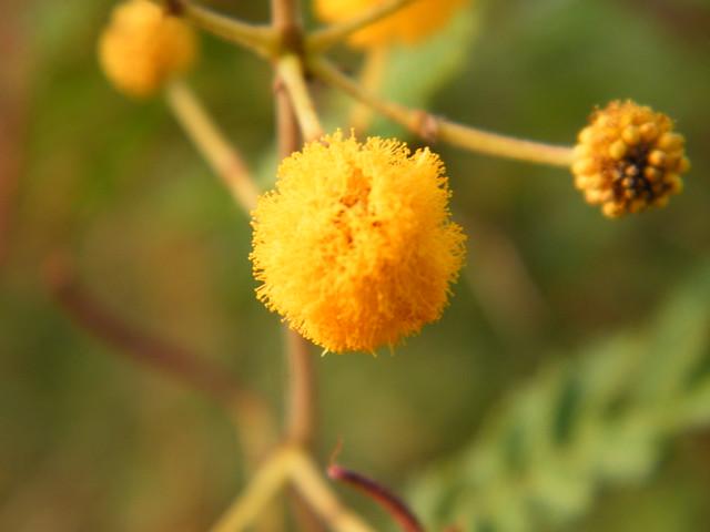 Acacia hockii De Wild. (Fabaceae)