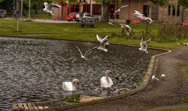 Avian life on tranquil pond, Elgin