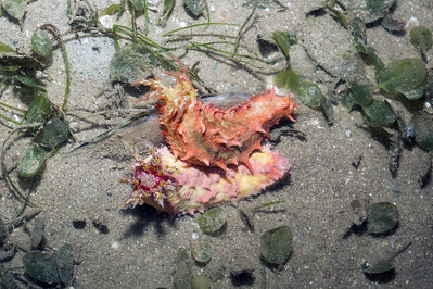 Pink warty sea cucumber (Cercodemas anceps) and Thorny sea cucumber (Colochirus quadrangularis)