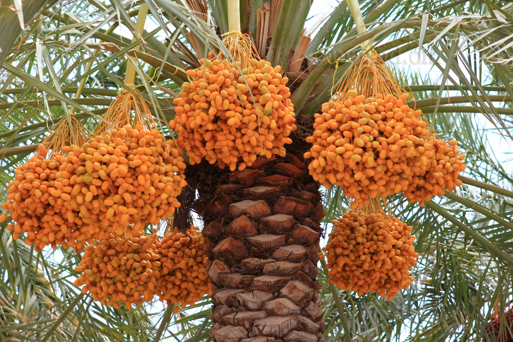 Dates - Al Hamra
