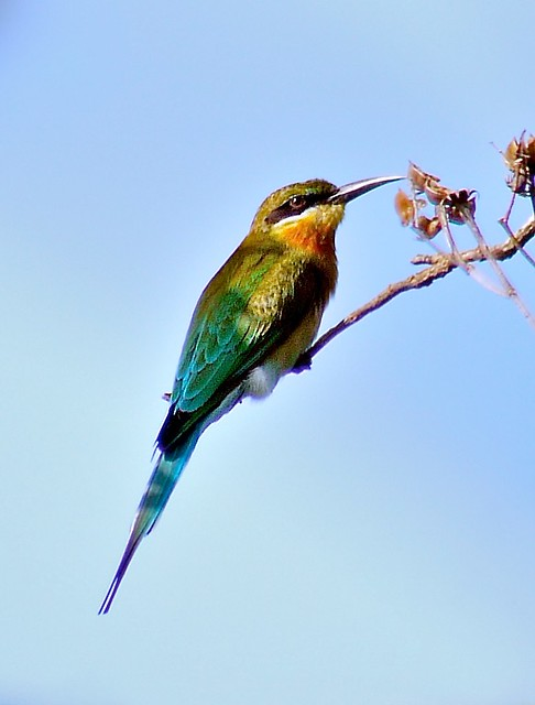 Blue Winged Bee Eater