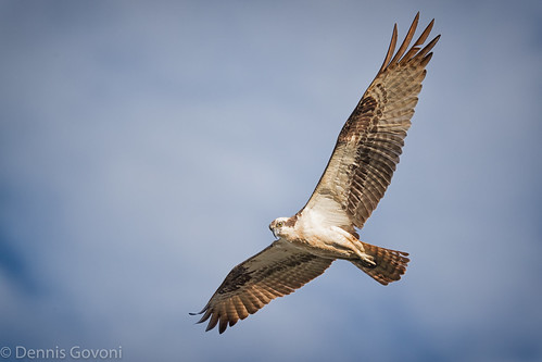 osprey action background bird clouds huntleymeadows raptor sunrise water wildlife alexandria virginia unitedstates us