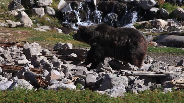 Grizzly Bear, Yellowstone Park, Wyoming, USA