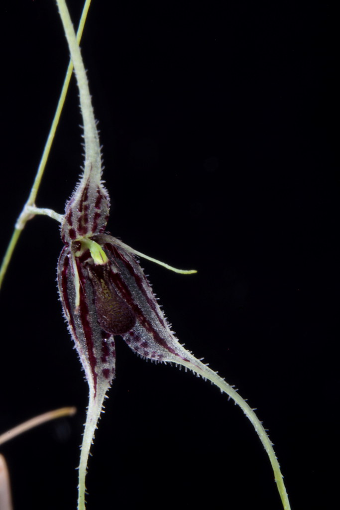 Muscarella species