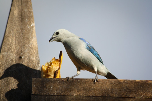 Blue Grey Tanager | by The Colombian Way