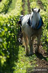 Travail de la Vigne en cheval
