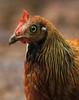 Sri Lanka Junglefowl > 8.000 views by Wild Chroma