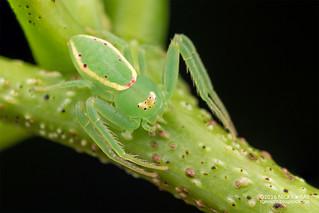 Crab spider (Loxobates sp.) - DSC_1462