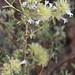 Thymus mastichina - Photo (c) José María Escolano, algunos derechos reservados (CC BY-NC-SA)
