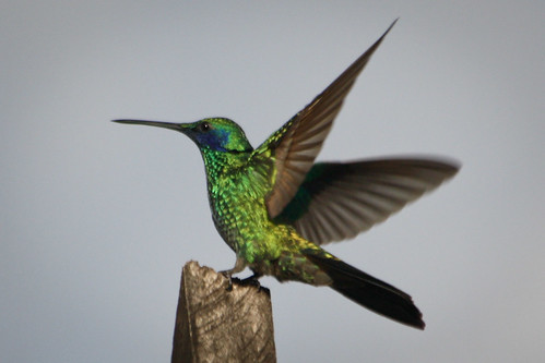 Green Violetear | by The Colombian Way
