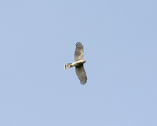 Sharp-shinned Hawk, Trenton, MI, September 21, 2012 | by larus10