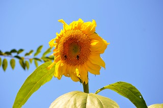 Sunflower | by raowen
